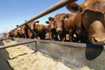 cows eating grain