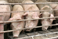 pigs fenced in unhealthy conditions