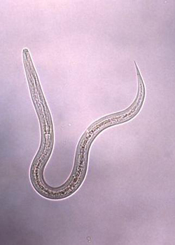 hookworms and allergies