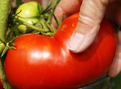 picking a tomato