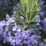 anti-inflammatory herb rosemary
