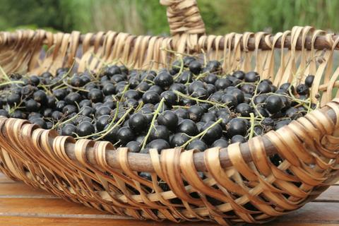 black currant benefits