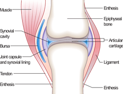 Synovial Joint Example