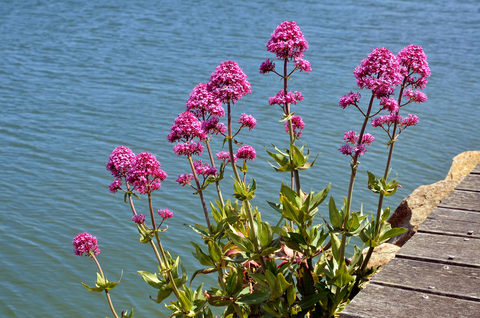 valerian improves sleep
