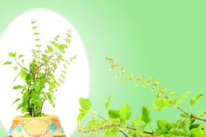 tulsi holy basil herbs
